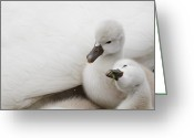 Canada Swan Greeting Cards - Mute Swan Cygnets Greeting Card by Alina Morozova