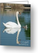 Lake With Reflections Greeting Cards - Mute swan with cygnets in morning light Greeting Card by Andrew  Michael