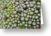 Pasque Flower Greeting Cards - My Rockery ... Greeting Card by Juergen Weiss