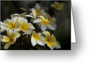 Exotic Tree Flowers Greeting Cards - Na Lei Pua Melia - Morning Whispers Greeting Card by Sharon Mau