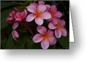 Flowers Of Nature Greeting Cards - Na Lei Pua Melia O Wailua - Pink Tropical Plumeria Hawaii Greeting Card by Sharon Mau