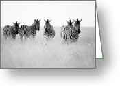 Zebra Photo Greeting Cards - Namibia Zebras II Greeting Card by Nina Papiorek