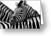 Zebra Photo Greeting Cards - Namibia Zebras III Greeting Card by Nina Papiorek