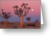 Quiver Greeting Cards - Namibia,namib Desert,quiver Trees At Dusk Under Moon Greeting Card by Theo Allofs
