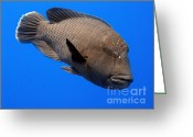 Maori Prints Greeting Cards - Napoleon Wrasse Greeting Card by Serena Bowles