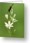 Star Of Bethlehem Greeting Cards - Narbonne Star-of-Bethlehem Greeting Card by Yuri Peress