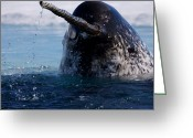 Ice Floes Greeting Cards - Narwhals Come Up In Seal Holes Greeting Card by Paul Nicklen
