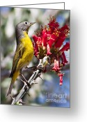 Photgraphy Greeting Cards - Nashville Warbler Greeting Card by Robert Bales