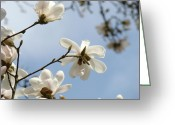 Seasons Framed Prints Prints Greeting Cards - Nature Photography Blue Sky art prints White Magnolia Flowers Greeting Card by Baslee Troutman Nature Photography