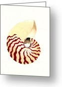 Sea Life Art Greeting Cards - Nautilus Greeting Card by Michael Vigliotti