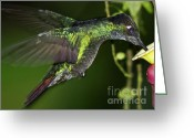 Colorful Birds Photo Greeting Cards - Nectar feeding Hummingbird Greeting Card by Heiko Koehrer-Wagner