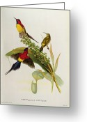 Lithograph Greeting Cards - Nectarinia Gouldae Greeting Card by John Gould
