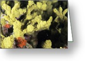 Immobile Greeting Cards - Needle Coral Greeting Card by Alexis Rosenfeld