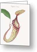 Wall Art Drawings Greeting Cards - Nepenthes x mixta Greeting Card by Scott Bennett