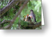 Colorado Creatures Greeting Cards - Nesting American Robins Greeting Card by Crystal Garner