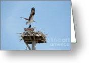 Osprey Photo Greeting Cards - Nesting Osprey in New England Greeting Card by Erin Paul Donovan