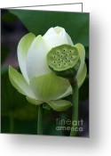 Lotus Seed Pod Greeting Cards - New Beginnings Greeting Card by Sabrina L Ryan