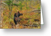 Moose Bull Greeting Cards - New Hampshire Bull Moose Greeting Card by Catherine Reusch  Daley