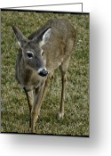 Rudolph Greeting Cards - New to the world Deer Greeting Card by LeeAnn McLaneGoetz McLaneGoetzStudioLLCcom