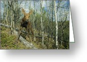 Newborn Greeting Cards - Newborn Calf Moose Stands In A Quaking Greeting Card by Michael S. Quinton