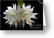 Night Blooming Greeting Cards - Night-Blooming Cereus 2 Greeting Card by Warren Sarle