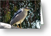 Snowy Night Greeting Cards - Night Crowned Heron in the Tree Greeting Card by Jean Marshall