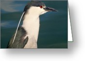 Snowy Night Greeting Cards - Night Crowned Heron Greeting Card by Jean Marshall