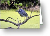 Audubon Greeting Cards - Night-Heron Greeting Card by Al Powell Photography USA