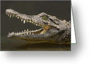 Sharp Teeth Greeting Cards - Nile Crocodile Greeting Card by Tony Beck
