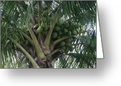 Hawaiian Food Greeting Cards - Niu ola hiki Coconut Palm Greeting Card by Sharon Mau