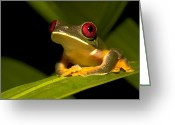 Red-eyed Frogs Greeting Cards - Nocturnal red-eyed tree Greeting Card by Roy Toft