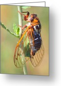 Cicada Greeting Cards - Noisy Cicada Greeting Card by Shane Bechler