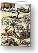 1711 Greeting Cards - North America: Fauna Greeting Card by Granger