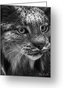 Silver Gelatin Greeting Cards - North American Lynx In The Wild. Greeting Card by Bob Orsillo