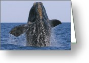 Tony Greeting Cards - North Atlantic Right Whale breaching Greeting Card by Tony Beck