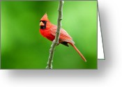 Red Bird Greeting Cards - Northern Cardinal Greeting Card by Donna Caplinger
