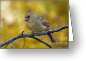 Indiana Autumn Greeting Cards - Northern Cardinal Female - D007849-1 Greeting Card by Daniel Dempster