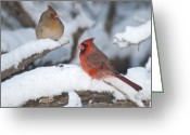 Cardinal Greeting Cards - Northern Cardinal Pair 4284 2 Greeting Card by Michael Peychich