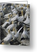 Rock Groups Greeting Cards - Northern Gannets And Chicks Roost Greeting Card by Norbert Rosing