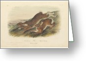 Litho Greeting Cards - Northern Hare Greeting Card by John James Audubon