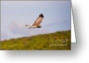 Bank Photo Greeting Cards - Northern Harrier Flight Greeting Card by Mike  Dawson