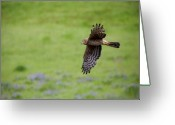 Hunter Photo Greeting Cards - Northern Harrier Fly By Greeting Card by Mike  Dawson