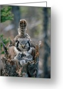 Mother Of Four Greeting Cards - Northern Hawk Owl Surnia Ulula Parent Greeting Card by Michael Quinton