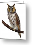 Long Eared Owl Greeting Cards - Northern long-eared owl Asio otus - Hibou moyen-duc - Buho chico - Hornuggla - Nationalpark Eifel Greeting Card by Urft Valley Art