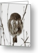 Bird Of Prey Mixed Media Greeting Cards - Northern Pygmy Owl - Little One Greeting Card by Reflective Moments  Photography and Digital Art Images
