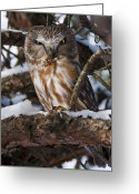 White Feather Greeting Cards - Northern Saw-whet Owl Greeting Card by Nina Stavlund
