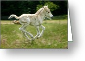 Wild Horse Greeting Cards - Norwegian Fjord Colt Running Greeting Card by Jeffrey L. Jaquish ZingPix.com