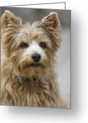 Dog Portrait Digital Art Greeting Cards - Norwich Terrier Headshot Greeting Card by Susan Stone