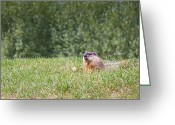 Groundhog Greeting Cards - Not a Rabbit Greeting Card by Michel Soucy