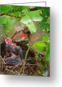 Cardinal Greeting Cards - Not so Wildlife Greeting Card by Robert Harmon